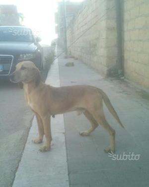 Segugio/Beagle di 5 anni