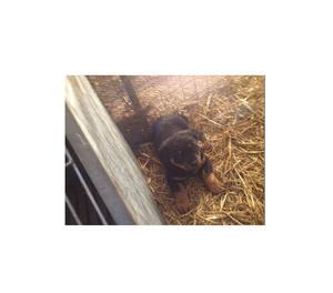 Cucciole di Rottweiler di 2 mesi