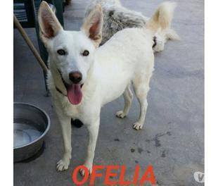 adozione X OFELIA, bianca, 1 anno e mezzo, dolcissima