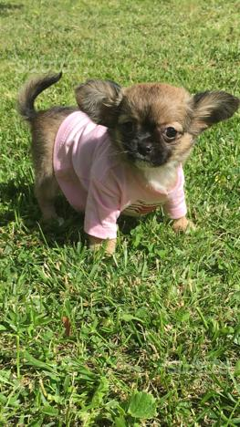 Chihuahua femminuccia pelo lungo Pedigree