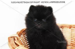 Cuccioli Spitz Tedesco
