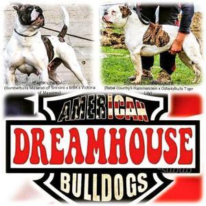 Cuccioli di American Bulldog - Disponibili
