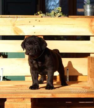 Cuccioli di labrador retriever originali