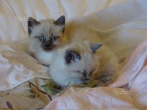 Gattini razza siamese thai