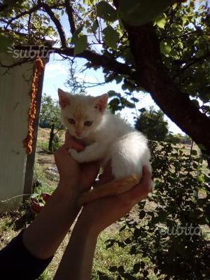 Gattini siamesi thai