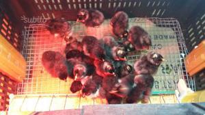 Pulcini di pura razza Amrock avicoli ornamentali