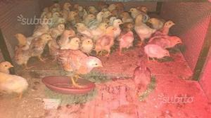 Pulcini gallina nostrana