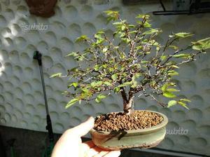 Olmo bonsai posot class for Glicine bonsai prezzo