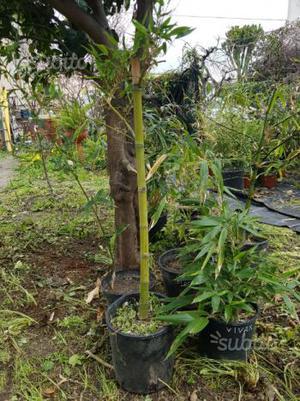 Pianta bambù gigante