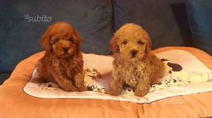 Barboncini toy cuccioli