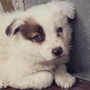 Border collie ultimi cuccioli disponibili