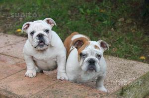 Bulldog inglese cuccioli