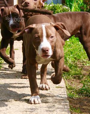 Cucciola Femmina di American Pitbull Terrier