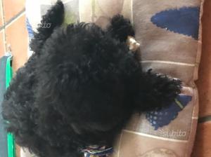Cucciola di barboncino nero femmina bella e pura
