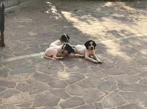 Cuccioli incrocio pointer/setter di 3 mesi