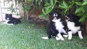 Cucciolo di border collie con pedigree