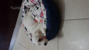 Cucciolo maltese