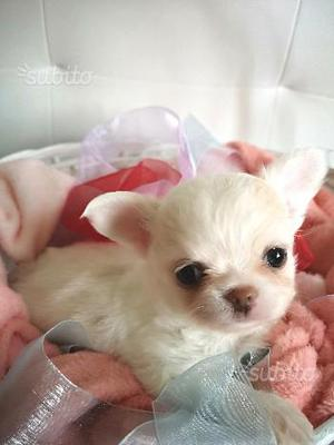Disponibili cuccioli con pedigree ENCI