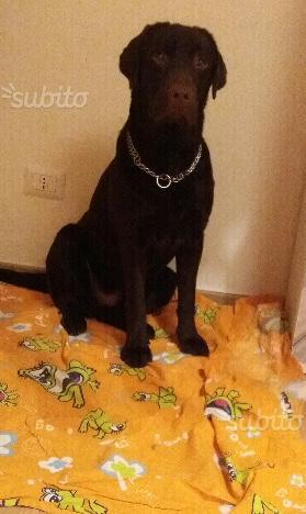 Labrador maschio per accoppiamenti