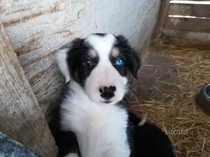 Libeccio cucciolo di Border Collie