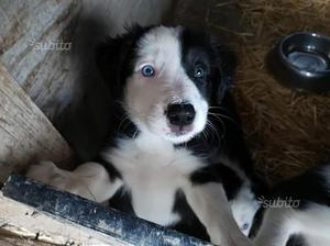 Loris cucciolo di Border Collie