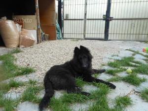 Pastore belga cucciolo pronto
