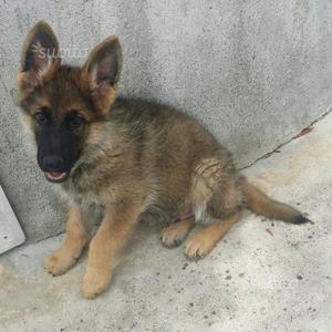 Regalo cucciolo pastore tedesco