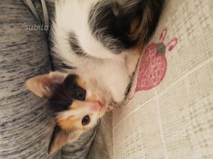 Regalo gattina 2 mesi