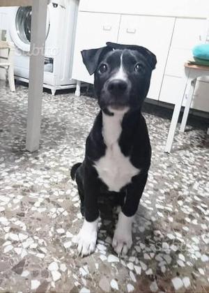 Tepphany pitbull di 3 mesi circa
