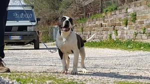 American Bulldog maschi di 6 mesi