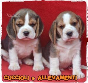 Beagle cuccioli con Pedigree - Allevamento
