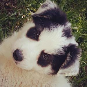 """Border collie cucciolo """"Panda"""""""