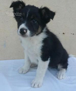 Border collie regalo
