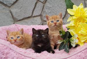 British shorthair cuccioli colori rari