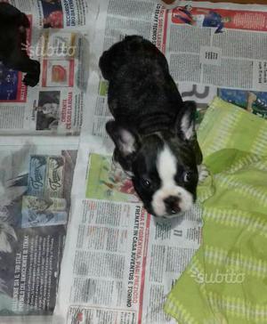Bulldog francese maschio nato in casa
