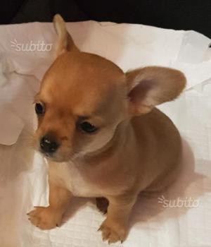 Chihuahua maschi