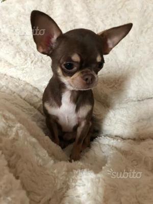 Chihuahua maschio piccolissimo