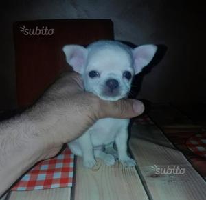 Chihuahua mini toy bianco