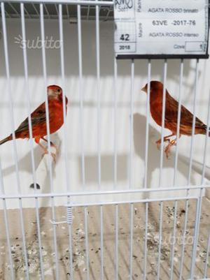 Coppia canarini agata rosso