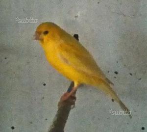 Coppia canarini con gabbia e nido