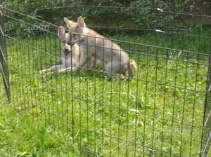 Cucciola cane lupo cecoslovacco