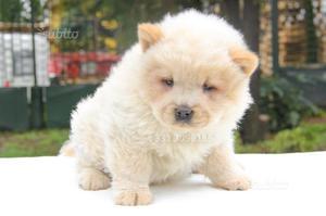 Cucciola di Chow Chow disponibile