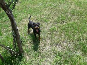 Cucciola di Rottweiler di 6 mesi