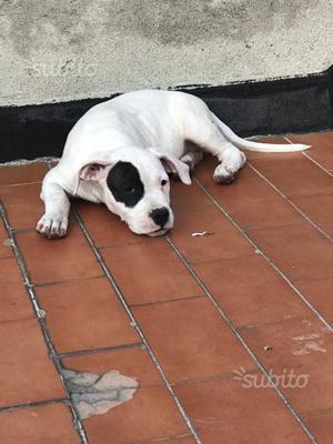 Cucciolata di Dogo argentino