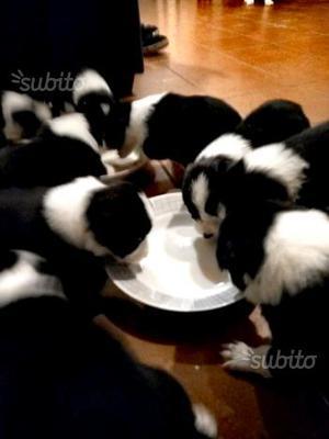 Cuccioli cane di razza Border collie