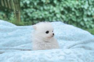 Cucciolo di Volpino di Pomerania TOY