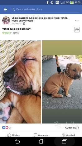 Cucciolo di amstaff di 2 mesi