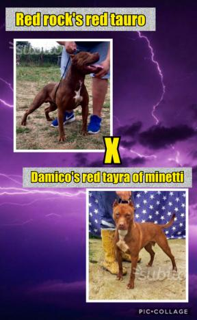 Disponibile ultimo cucciolo di Pitbull