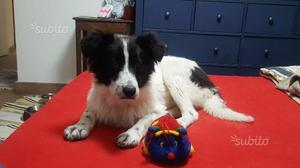 Focaccia cucciola 5 mesi in adozione