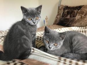 Gatti gattini scottish/brittish straight
